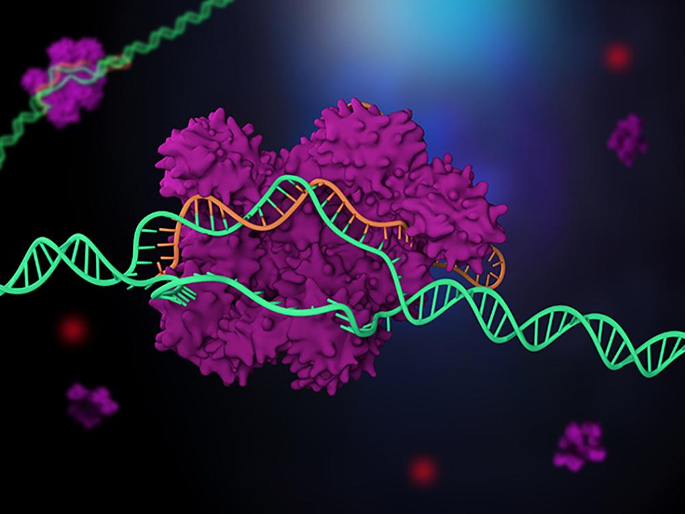 Cas9 enzyme, cutting genomic DNA.
